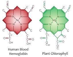 Human Hemoglobin and Plant Chlorophyll Chemistry Comparison