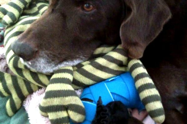 Pet dog 'Chocolate' with a Quantum Loop wrapped around his leg for assisting with osteoarthritis